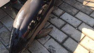 Karaköy'de yunus kıyıya vurdu: Ekipler bir saat sonra geldi