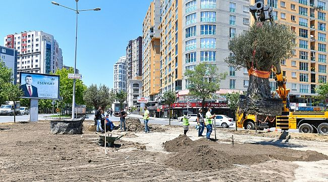Esenyurt Belediyesi ilçeye yüz yıllık zeytin ağaçları dikti