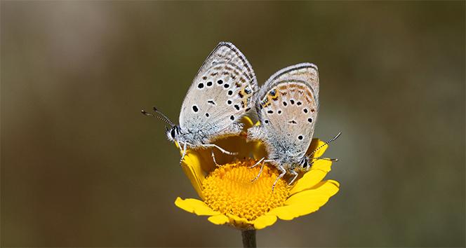 Nadir görülen kelebekler bu karelerde